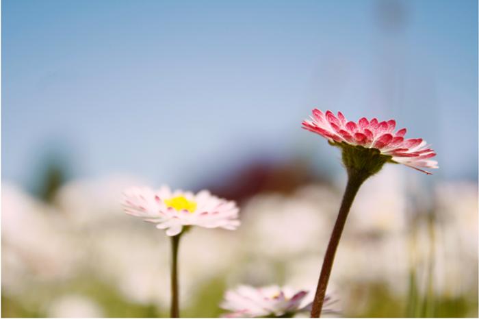 {mini} daisies