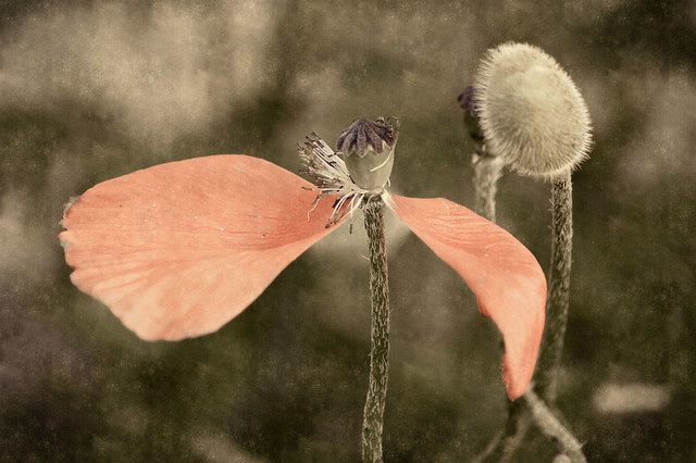 poppies photos poppies flowers growing poppies planting poppies poppies symbolism poppies veterans day poppies care poppies Searches related to poppy growing poppy poppy pictures poppy books poppy seed Spring door county wisconsin kewaunee floral filtered texture textured beauty pastel faded muted
