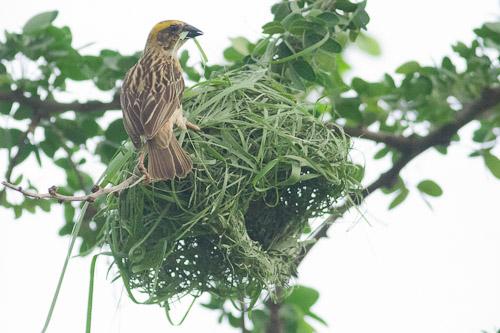 female Asian Golden Weaver