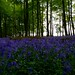 Bluebell Shake in Crawley Wood