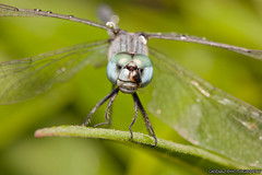 Blue Green Eyed Dragonfly