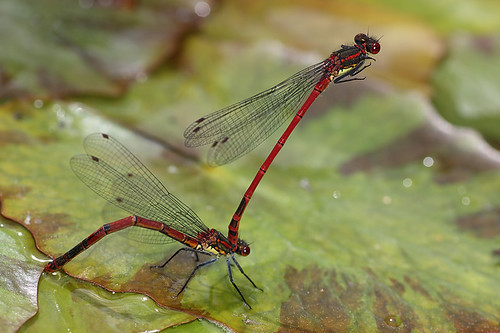 Large red damselflies #5 by Lord V