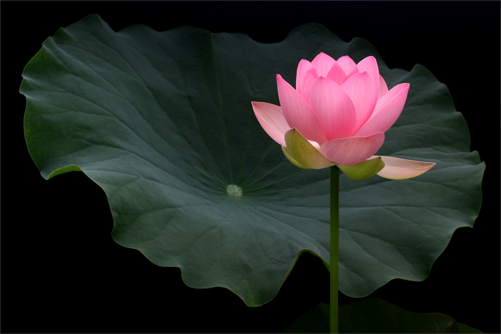 Pink Lotus Flower And The Leaf Img3116 1000 Pink Lotus Flickr