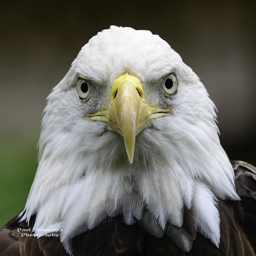 tampa zoo eagle florida baldeagle lowryparkzoo tampazoo lowrypark eaglebald tampalowryparkzoo