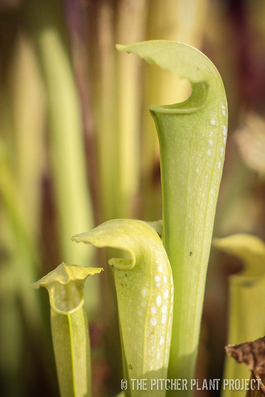 "Sarracenia (rubra ssp. jonesii AF x minor var. okefenokeensis) x ""Green Monster"""