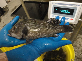 Fish farm 3- black sea bass