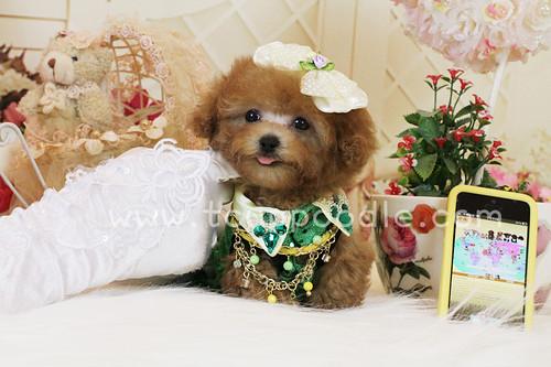 Tiny teacup poodle 8402 by 大熊媽媽