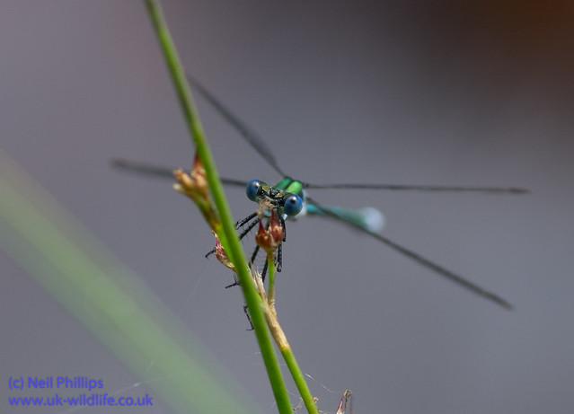 Emerald damselfly Lestes sponsa-3
