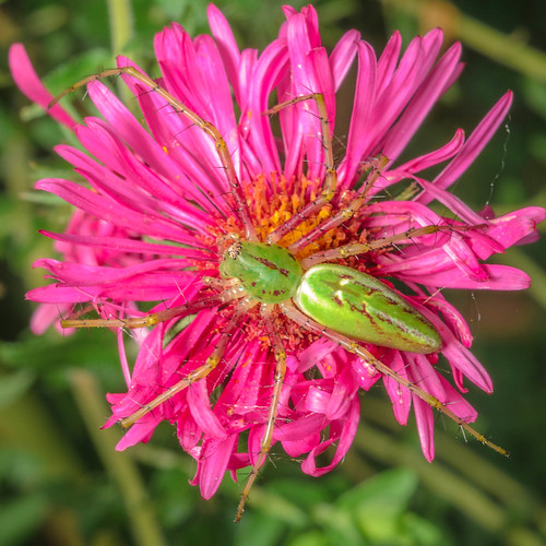 Green Lynx Spider on Aster