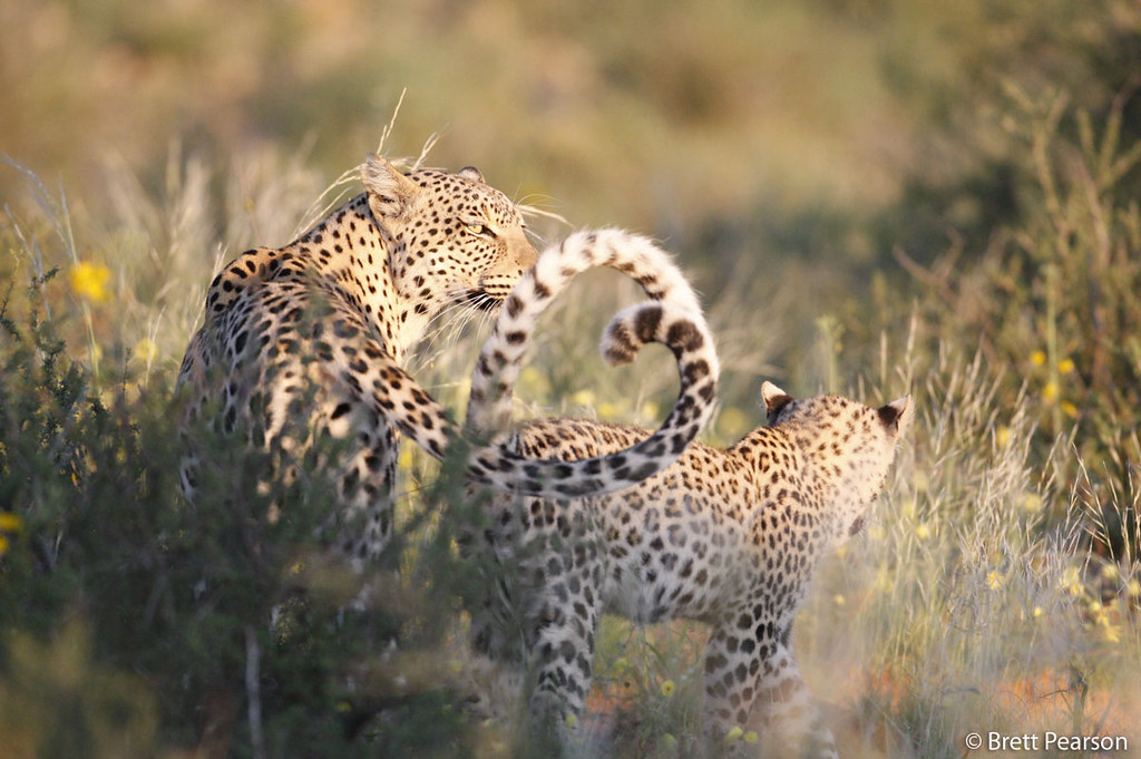 This photo was taken in South Africa's Phinda Private Game Reserve, home to Panthera's Munyawana Leopard Project, founded by Panthera President, Dr Luke Hunter. Learn more about Panthera's leopard conservation work @ bit.ly/flEZT1