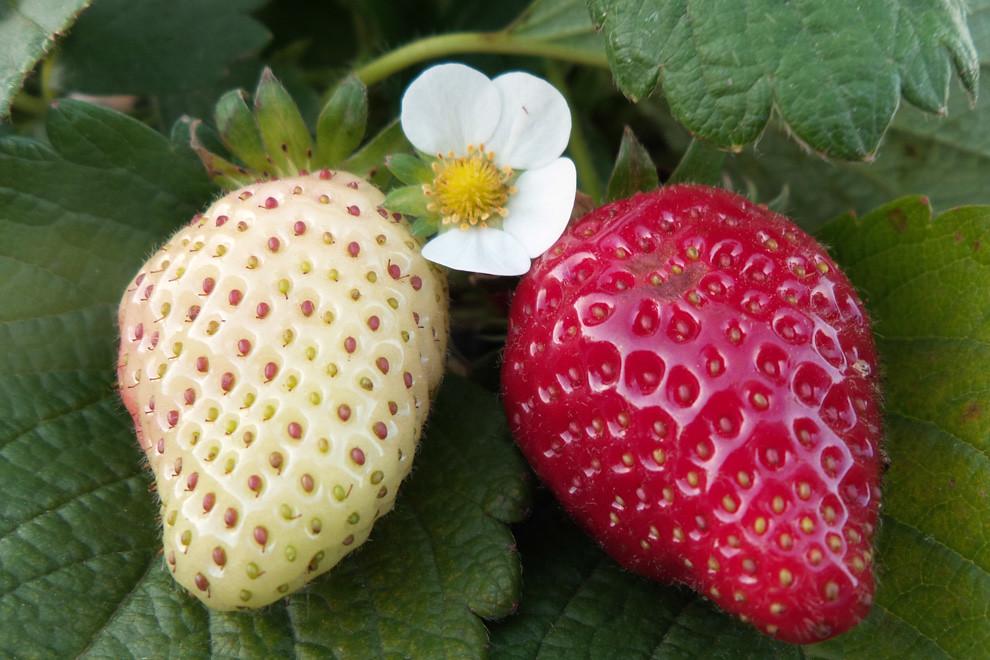 Una frutilla madura y otra camino a madurar, en medio de una gran plantación de frutillas en la Ciudad de Areguá, conocida por la Expo Frutilla que se realiza todos los años. (Tetsu Espósito).