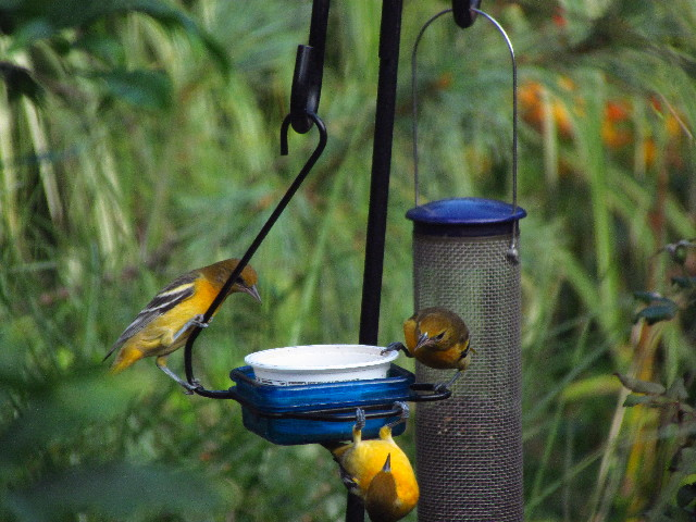 Orioles at feeder3 8:23:13