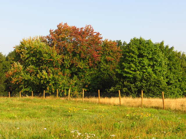 Silver Maple on the Tumulus Field