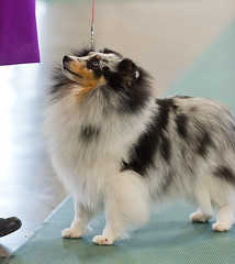 collie(0.0), dog breed(1.0), animal(1.0), german spitz klein(1.0), dog(1.0), pet(1.0), german spitz(1.0), german spitz mittel(1.0), rough collie(1.0), carnivoran(1.0), shetland sheepdog(1.0),