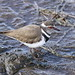 Three-banded Plover (or Three-banded Sandplover), Charadrius tricollaris, at Rietvlei Nature Reserve