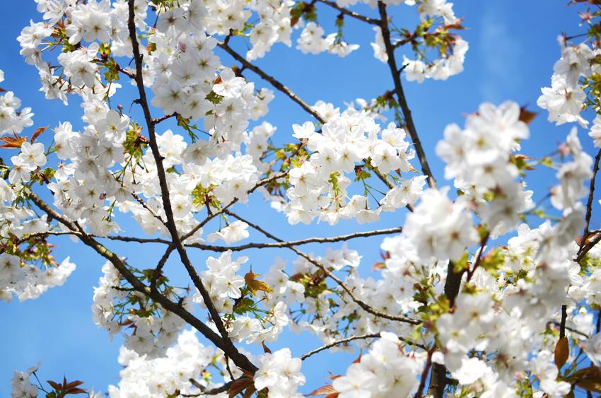 portobello bluest sky blossoms