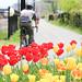biking past tulips on the Metropolitan Branch Trail by Joe in DC