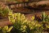 Hawera Daffodils