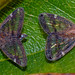 Passionvine hopper Scolypopa australis by Simon Grove (TMAG)