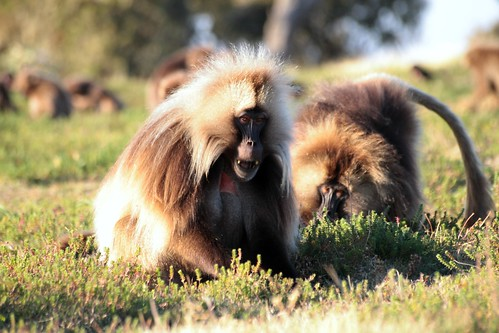 africa sunset animal outdoor unesco worldheritagesite depthoffield ethiopia baboons gelada simien geladababoon ኢትዮጵያ simiennationalpark flowereating bleedingheartbaboons picmonkey አፍሪቃ ሰሜንተራራ