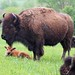 Small photo of Bison Calf