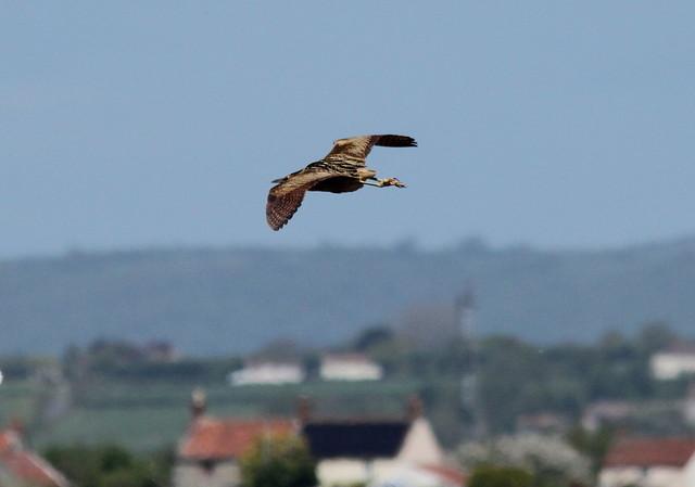 flying mallard mounts