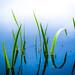 Blue Reeds by gerainte1