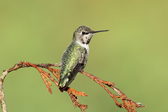 Calypte anna ♀ (Anna's Hummingbird) - Everett, WA