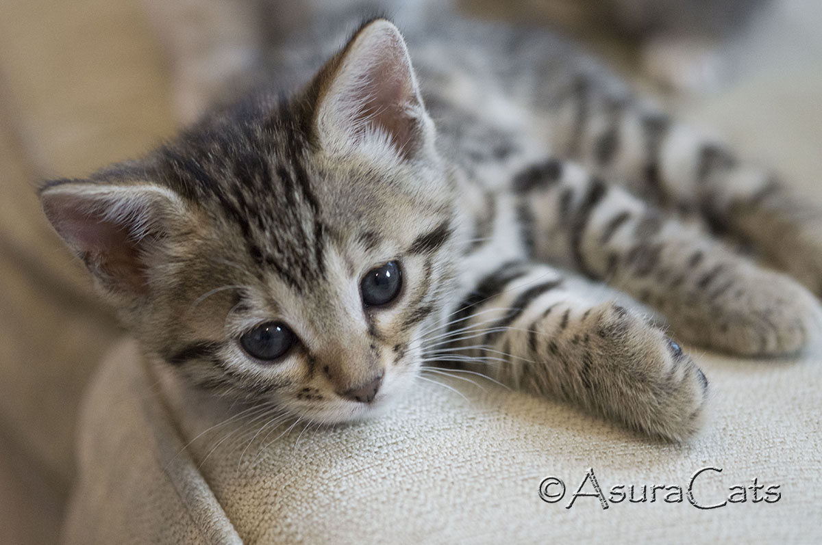 AsuraCats Applejack - Brown spotted/rosetted female Bengal kitten