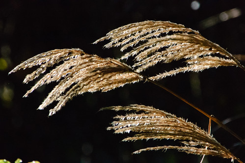 Ornamental grass seed heads, backlit, Castle Grounds