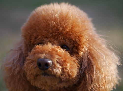 Red Poodle -Eddie by clémence22