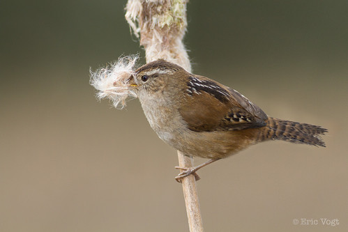 brown green bird reed birds washington spring nest wrens avian cattail ridgefield marshwren ridgefieldnationalwildliferefuge ridgefieldnwr
