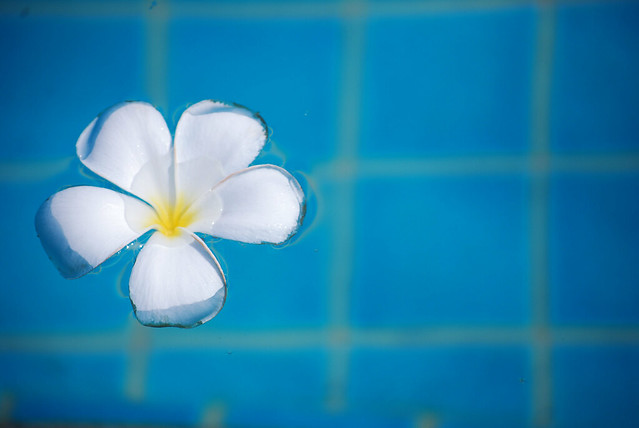 Plumeria Flower in Pool Lo_Res