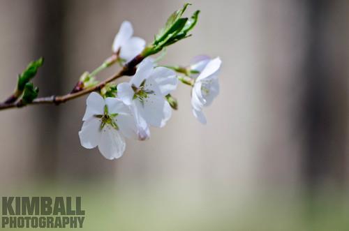 Pear Flower 4