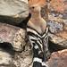 En la entrada del nido. Upupa epops - Abubilla - Poupa - Huppe fasciée ou H. du Sénégal - Eurasian or Central African Hoopoe - Wiedehopf