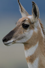 Pronghorn_0272.jpg by Mully410 * Images