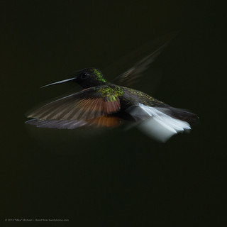Black-bellied Hummingbird, Eupherusa nigriventris