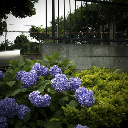 Hydrangeas with Mailbox and Wall