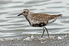 Black-bellied Plover by Brian E Kushner