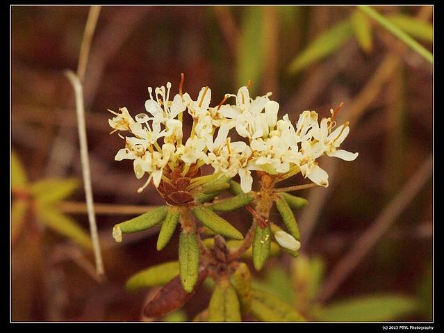 2013-06-07-P6073034-Labrador tea (Ledum groenlandicum)