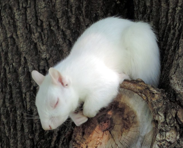 Albino Squirrel Sleeping In The Tree