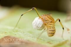 Spitting Spider (Scytodidae) - DSC_5922