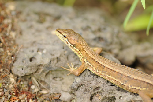 Japanese Grass Lizard