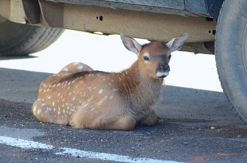 Rocky Mountain Elk (Cervus canadensis nelsoni) Calf DDZ_6013