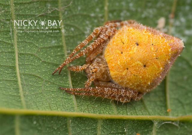 Orb Web Spider (Araneidae) - DSC_1363