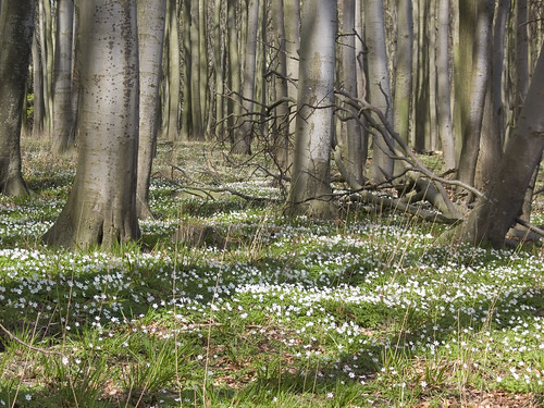 Buschwindröschen im Wald