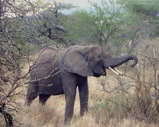 Elefantenkind (Serengeti)