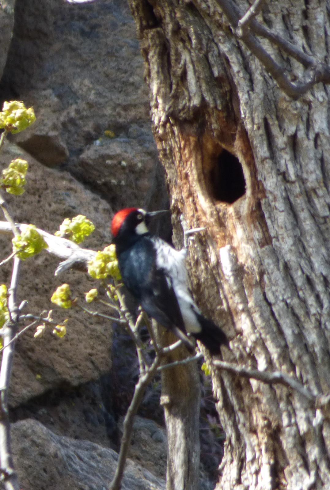 Acorn Woodpecker house shopping