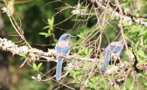 scrubjay westernscrubjay aphelocomacalifornica birdsofwashington washingtonbirds