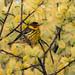 Cape May Warbler (Dendroica tigrina) by suebmtl